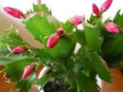 cactuspascua3